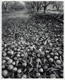 """John McLaine - \""""Death of an Orchardist\"""""""