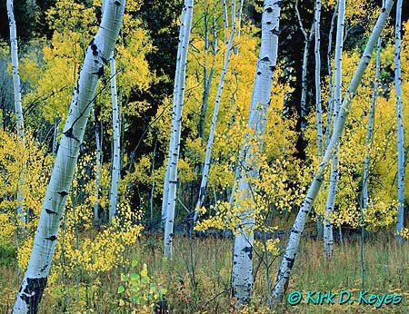 Kdk0016Blue_Aspens_450mr