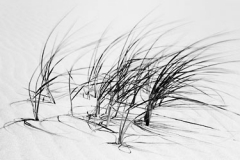 Dune_Grass_in_Wind-500W
