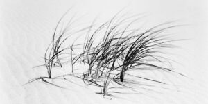Dune Grass in Wind