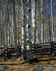 Aspens and Fence